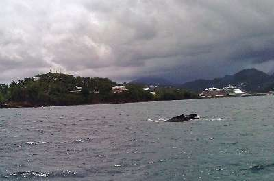 Its always a great day #sailing in #StLucia when a mother #whale & her calf pass close by!